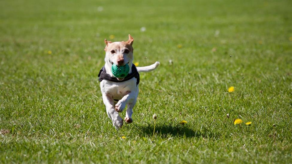 dog running in the park with a ball in its mouth